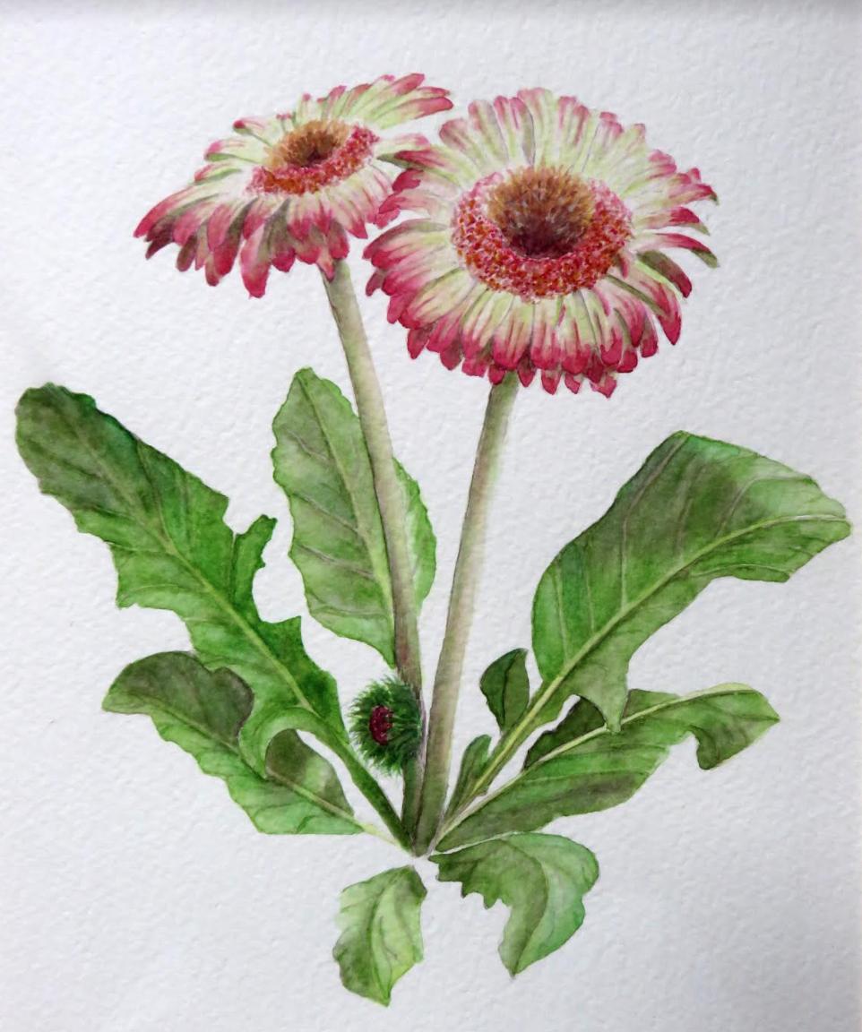 Gerbera-daisies-kate-greenbank
