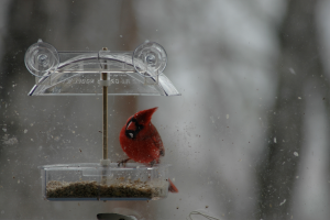 its-a-beautiful-world-cardinal-at-window-feeder