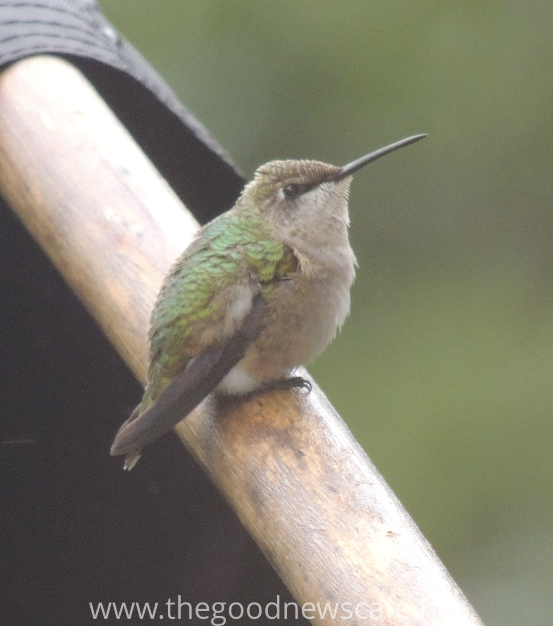 hummingbird-on-flagpole